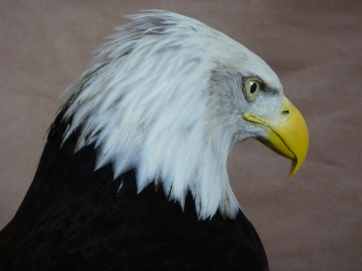 head taxidermy 3 Bald Eagle (Haliaeetus leucocephalus
