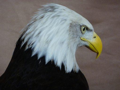 head taxidermy 3 Bald Eagle (Haliaeetus leucocephalus