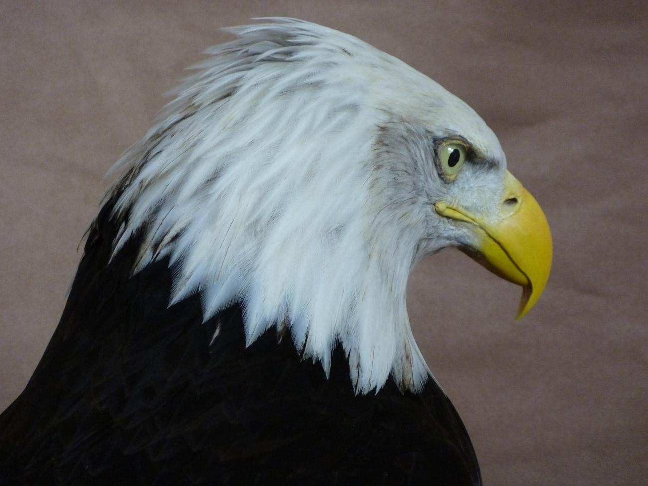 Bald Eagle (Haliaeetus...