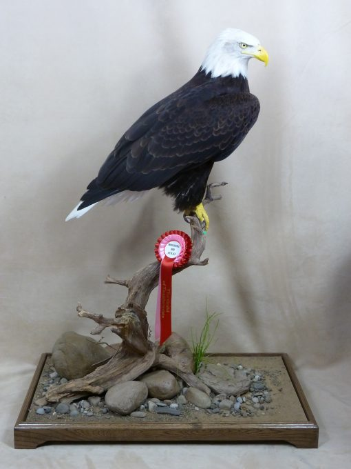 Bald Eagle (Haliaeetus leucocephalus taxidermy mike gadd