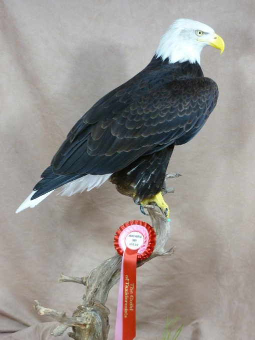 Bald Eagle (Haliaeetus leucocephalus winner