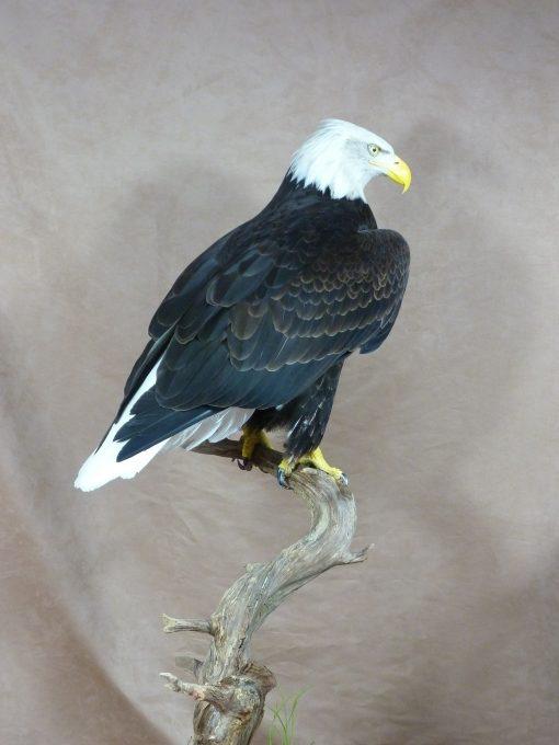 Bald Eagle (Haliaeetus leucocephalus bird Taxidermy