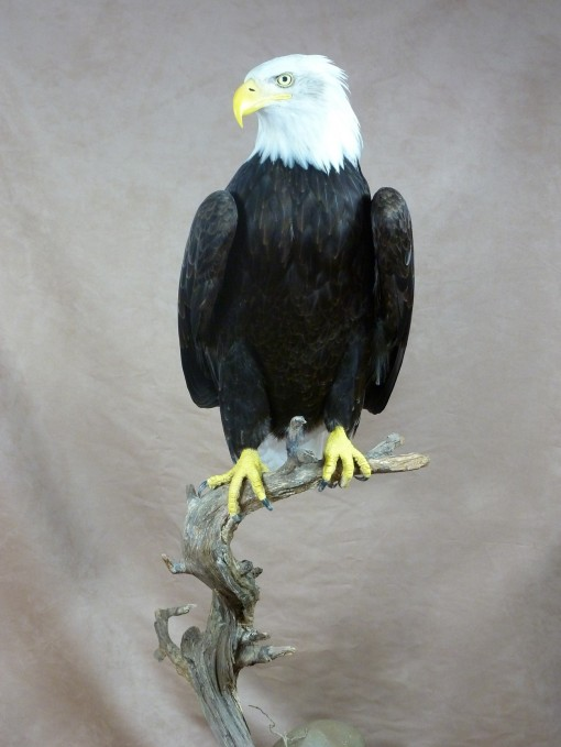 taxidermy Bald Eagle (Haliaeetus leucocephalus