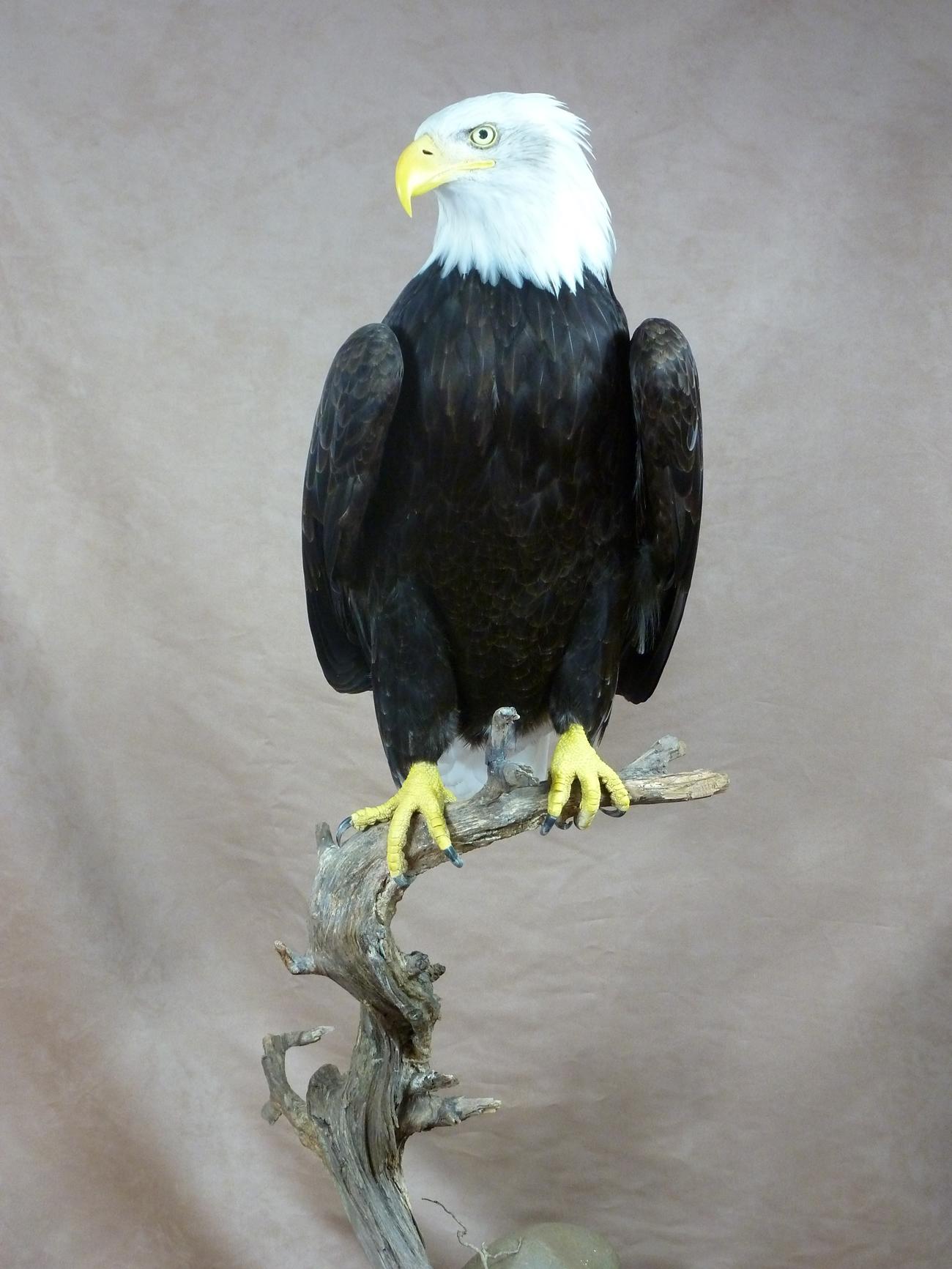 Bald Eagle Haliaeetus Leucocephalus Uk Bird Small
