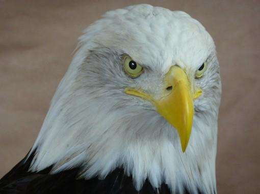 head taxidermy Bald Eagle (Haliaeetus leucocephalus