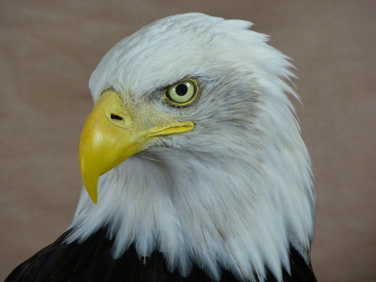 head taxidermy 2 Bald Eagle (Haliaeetus leucocephalus