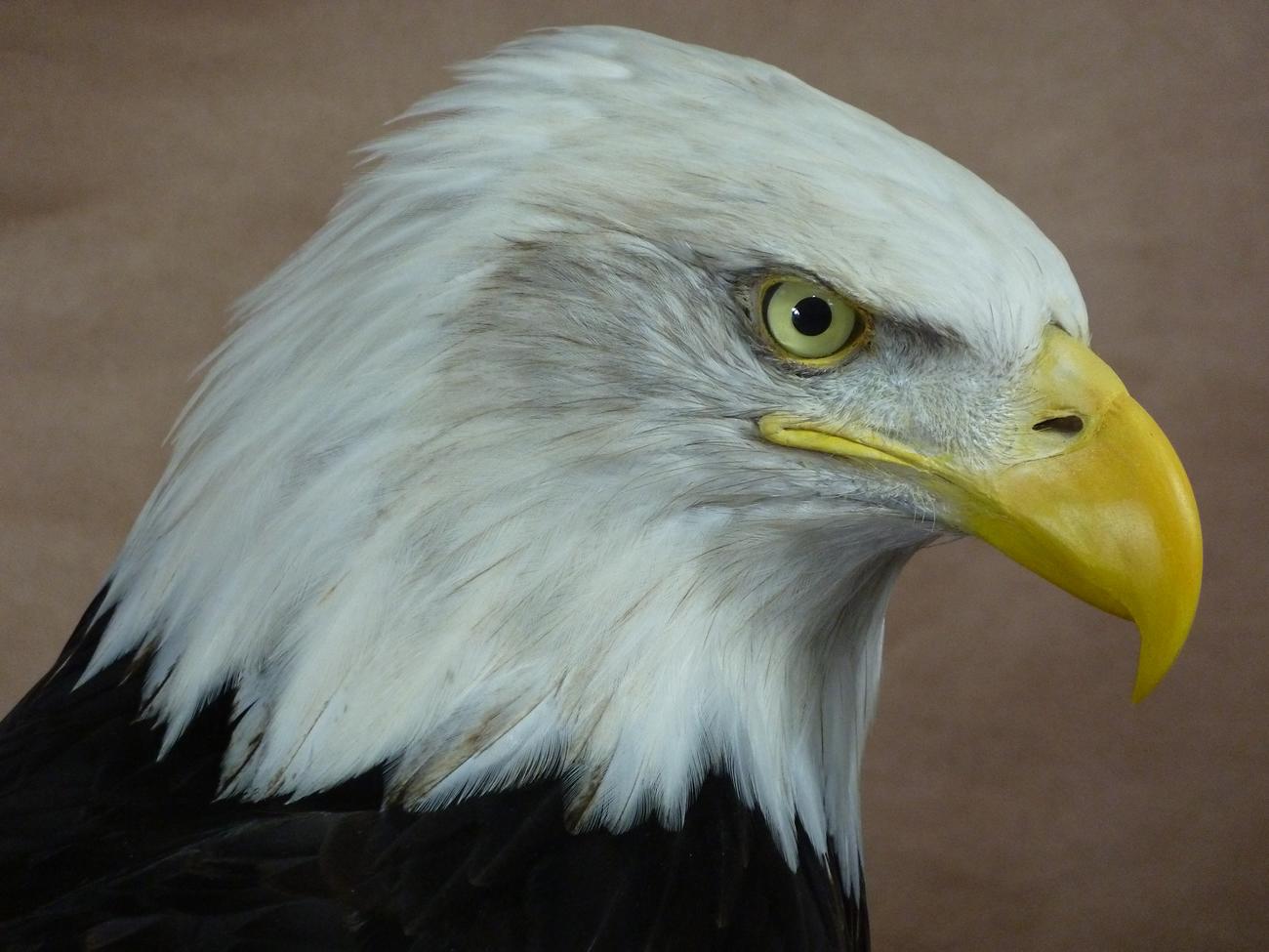 head taxidermy 5 Bald Eagle (Haliaeetus leucocephalus