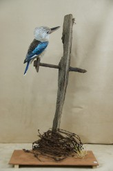 Kookaburra taxidermy 1