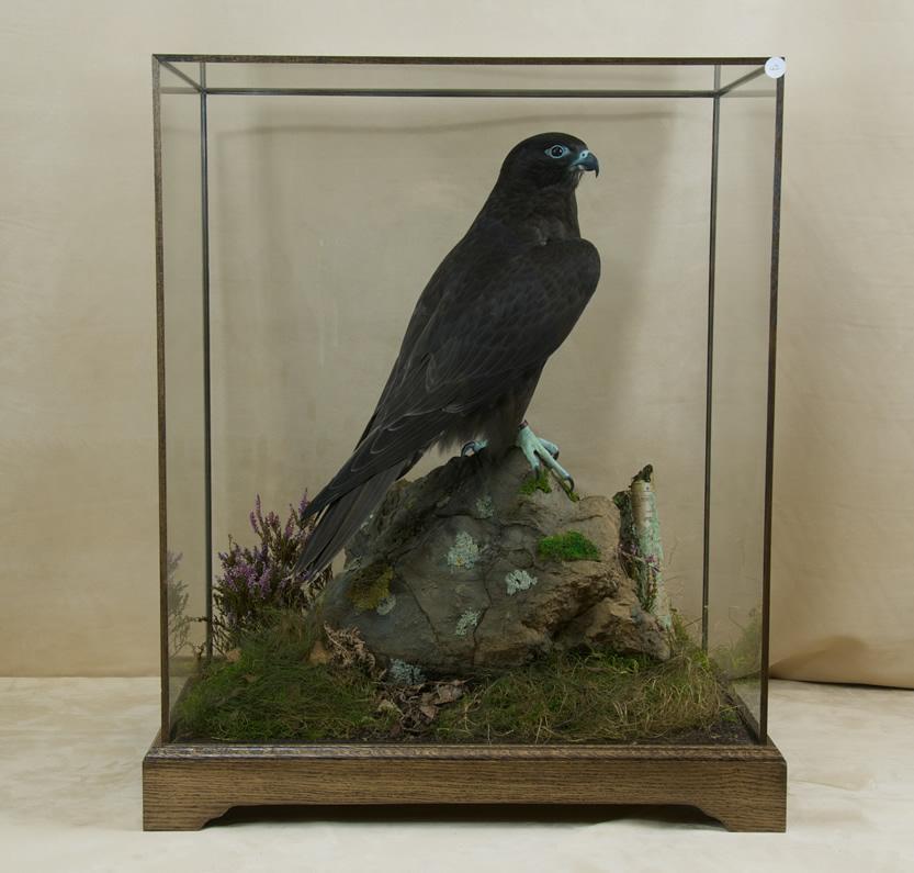 display case oak framed price per inch uk bird small mammal taxidermist mike gadd. Black Bedroom Furniture Sets. Home Design Ideas