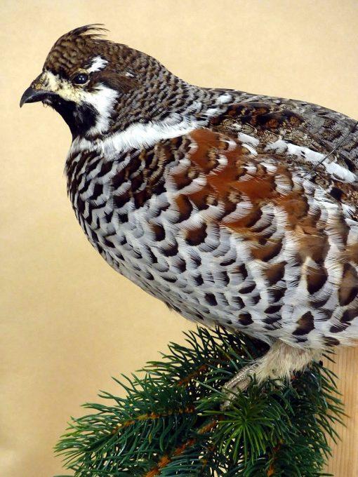 Hazel Grouse Bonasa bonasia  UK Bird Small Mammal