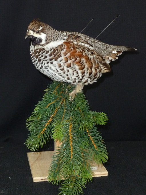 Hazel Grouse - taxidermy -Tetrastes bonasia dark