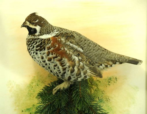 Hazel Grouse - taxidermy -Tetrastes bonasia cp2