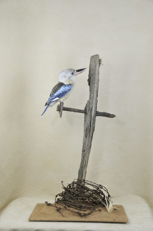 Kookaburra taxidermy 2