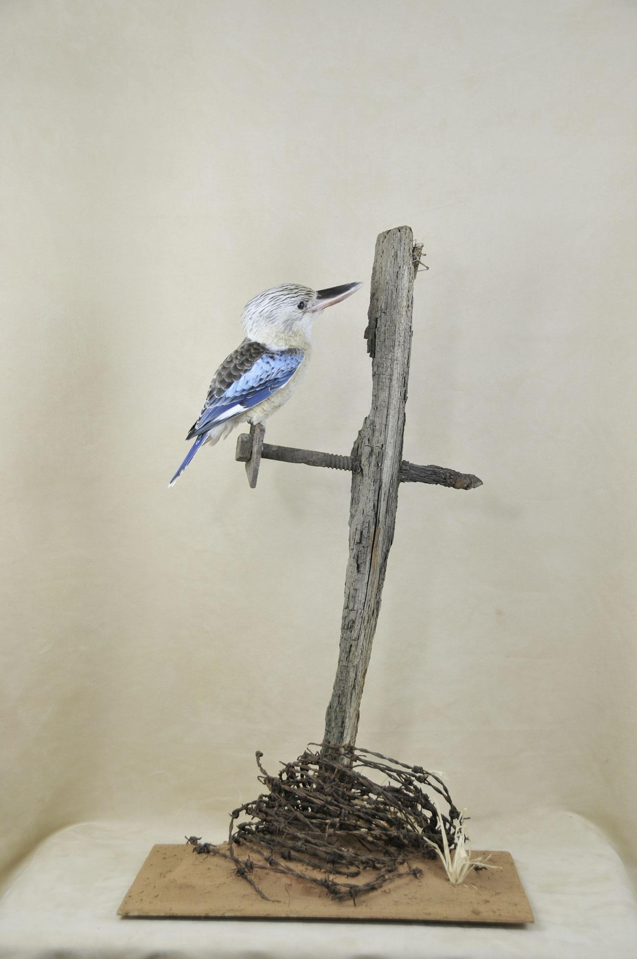 Kookaburra taxidermy 2