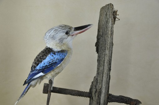 Kookaburra taxidermy 3