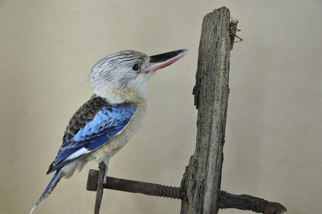 Exotic Birds For Sale >> Kookaburra   UK Bird Small Mammal Taxidermist Mike Gadd