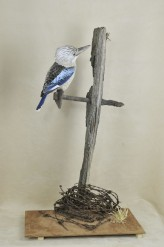 Kookaburra taxidermy 5