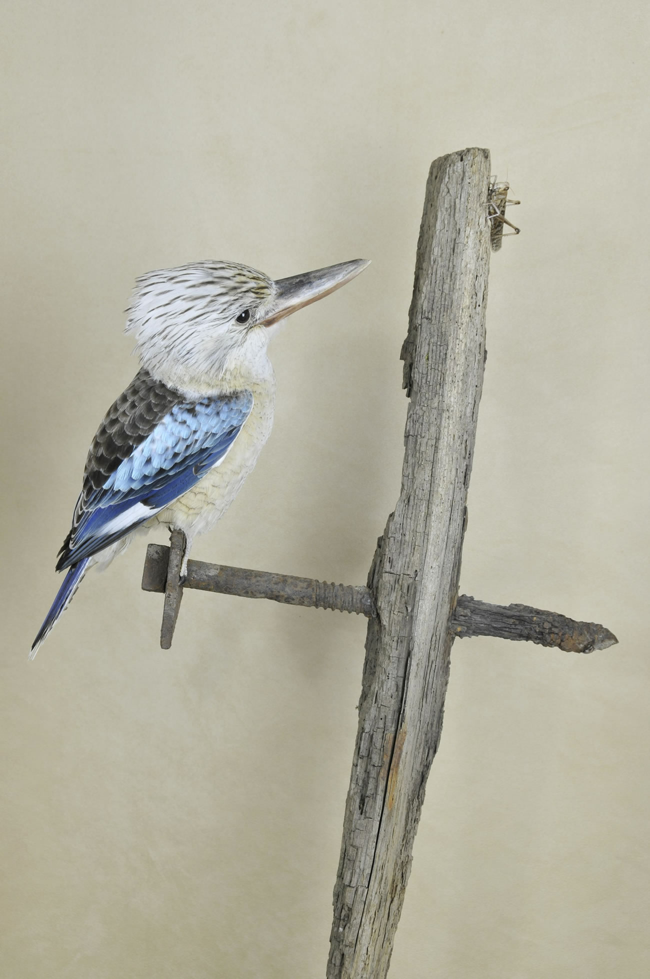 Kookaburra taxidermy 6