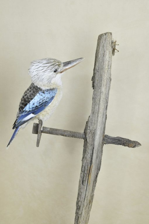 Kookaburra taxidermy 7
