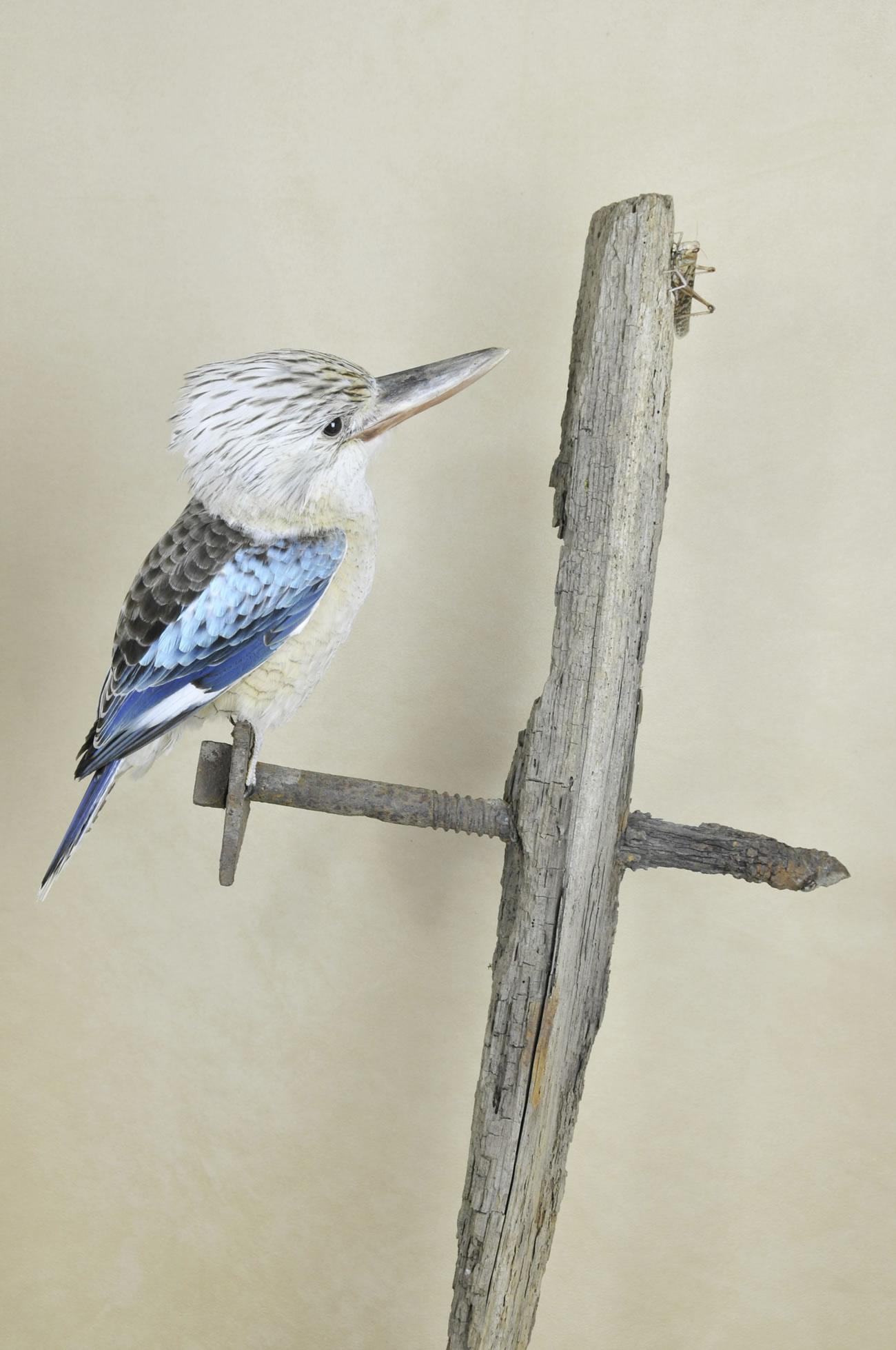 Kookaburra taxidermy 7