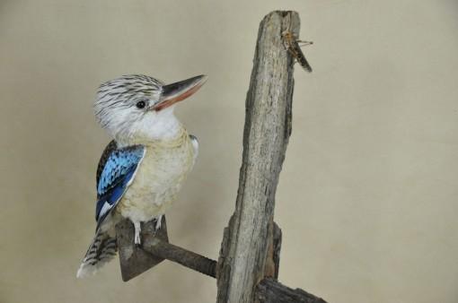 Kookaburra taxidermy 8