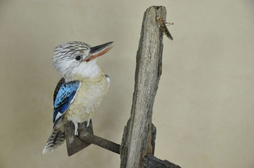 Kookaburra taxidermy 8
