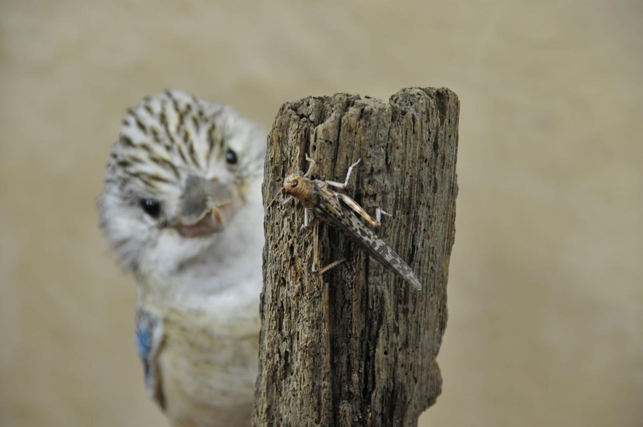 Kookaburra taxidermy 10