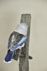Kookaburra taxidermy 12
