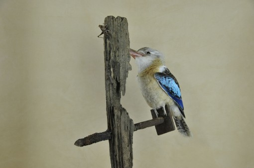 Kookaburra taxidermy 13