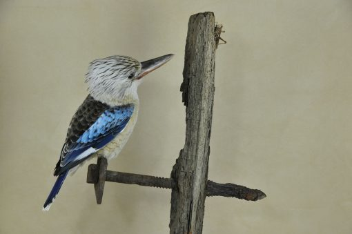 Kookaburra taxidermy 14