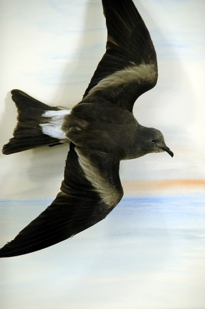 Leaches-petrel_taxidermy