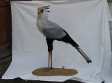 Secretary_Bird-taxidermy
