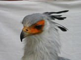 Secretary_Bird-taxidermy head