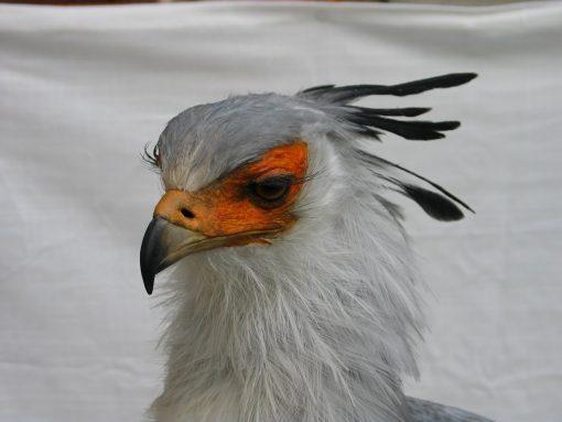 Secretary_Bird-taxidermy head