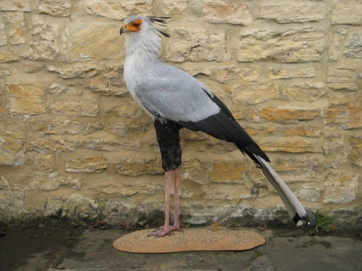 Secretary_Bird-taxidermy wall