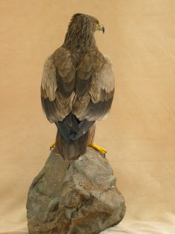 taxidermy Tawny Eagle (Aquila rapax) back