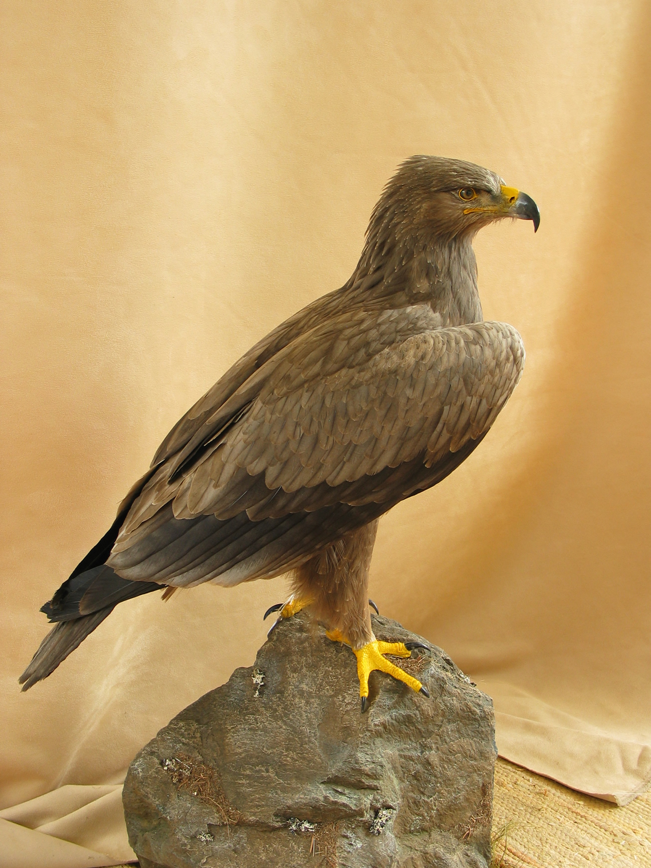 bird mount Tawny Eagle (Aquila rapax)