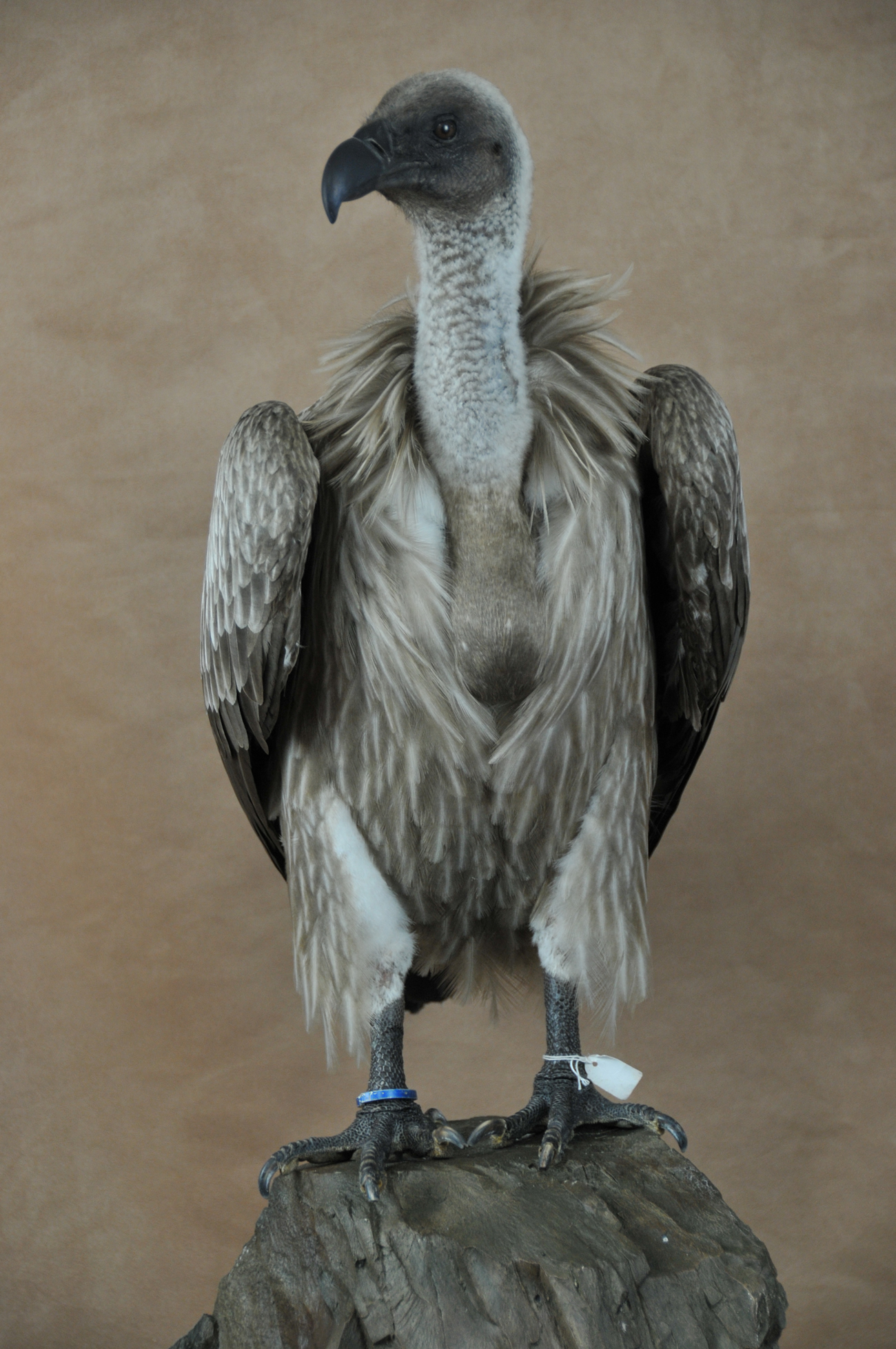 White-backed Vulture (Gyps africanus) front