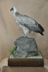 frican White-backed Vulture mount
