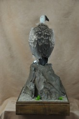 White-backed Vulture (Gyps africanus) taxidermy