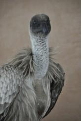 White-backed Vulture (Gyps africanus) head f