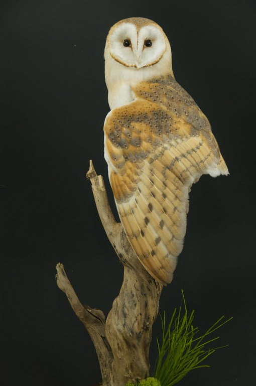 Barn Owl Taxidermy wing drouped