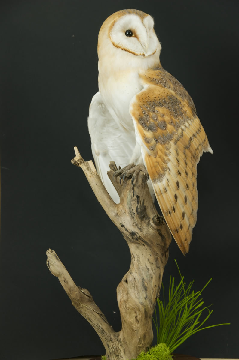 Exotic Birds For Sale >> Barn Owl on Branch | UK Bird Small Mammal Taxidermist Mike Gadd