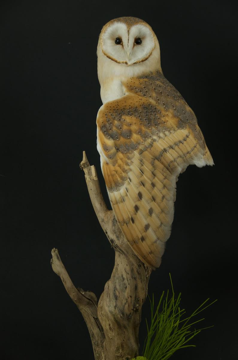 Barn Owl Taxidermy for sale