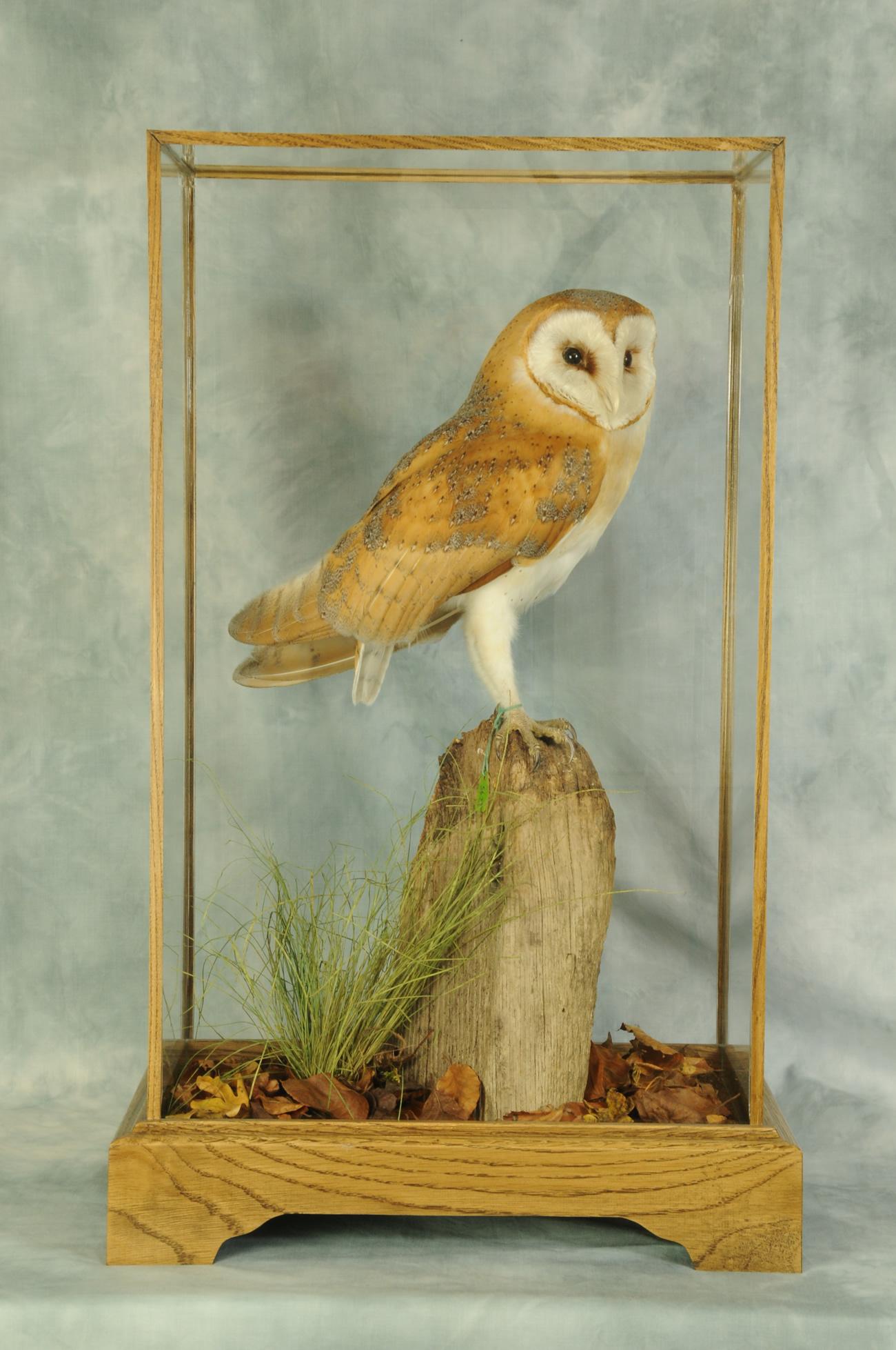 taxidermy Barn Owl (Tyto alba) casd