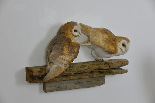 Barn Owl Bird Taxidermy on beam
