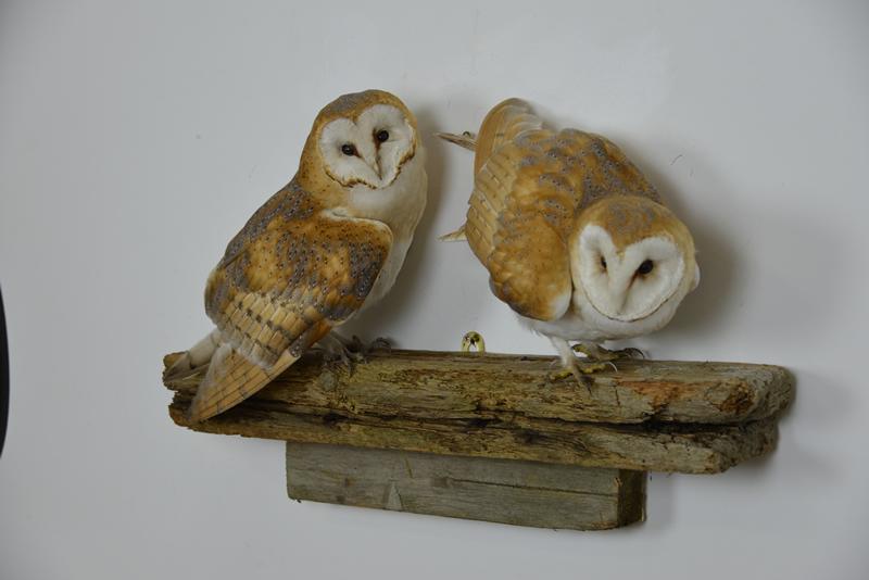 Barn Owl tyto alba bird taxidermy