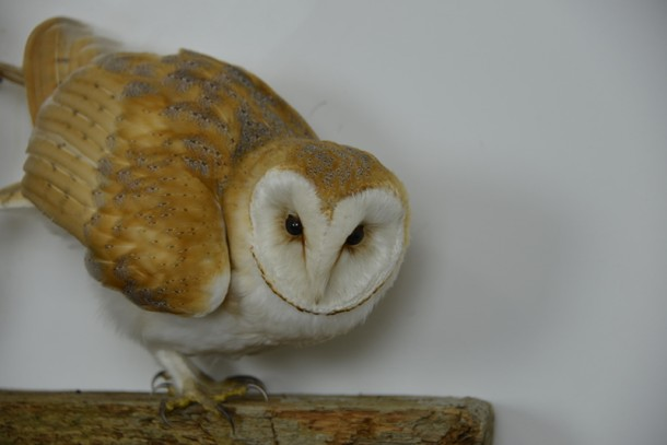 Close up of Barn Owl Bird Taxidermy head 2