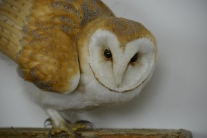 Close up of Barn Owl Bird Taxidermy head