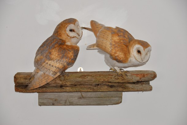 Barn Owl Bird Taxidermy